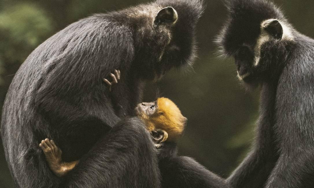 Hatinh langurs, um tipo de macaco, no Centro de Resgate de Primatas Ameaçados, no Parque Nacional Cuc Phuong. Florestas do Vietnã abrigam duas dúzias de espécies de primatas, mas a conservação da vida selvagem é uma luta Foto: DAVID RAMA TERRAZAS MORALES / NYT