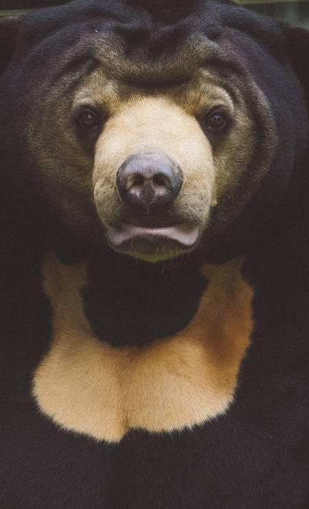 Murphy, um urso macho do urso no centro do salvamento do urso no parque nacional de Tam Dao. A bílis dos ursos-de-sol é considerada um remédio para o câncer; tais remédios estão dizimando certas populações de animais Foto: DAVID RAMA TERRAZAS MORALES / NYT