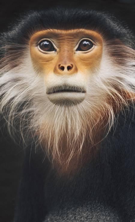 Um langur douc ruivo no Centro de Resgate de Primatas Ameaçados. Quase todos os primatas do Vietnã estão em risco Foto: DAVID RAMA TERRAZAS MORALES / NYT