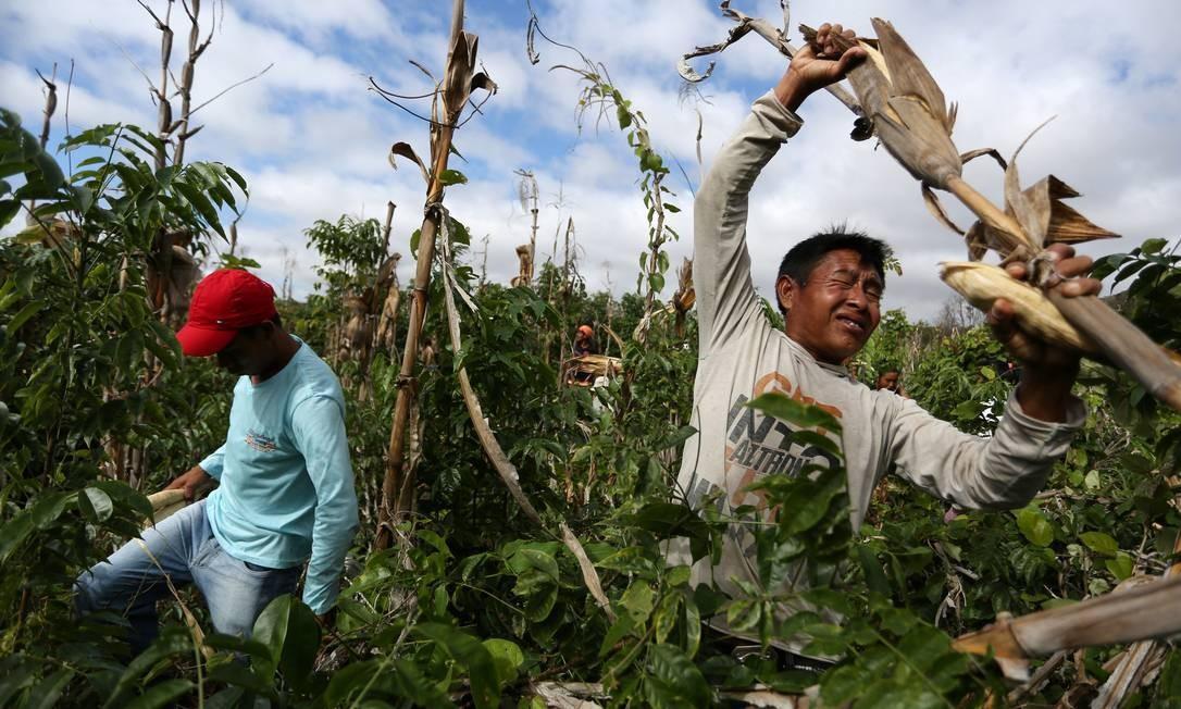 Homens Macuxi colhem milho na comunidade do Morro, na reserva Raposa Serra do Sol, em Roraima Foto: BRUNO KELLY / REUTERS
