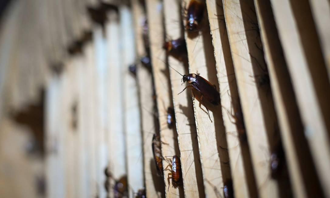 Cerca de 10 milhões de baratas focam guardadas em molduras de madeira nas prateleiras da fazenda em Yibin Foto: WANG ZHAO / AFP