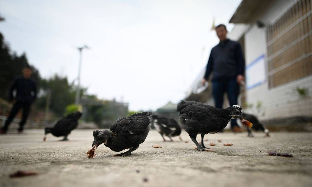 As baratas também servem de alimento para as galinhas da fazenda de Li Bingcai Foto: WANG ZHAO / AFP