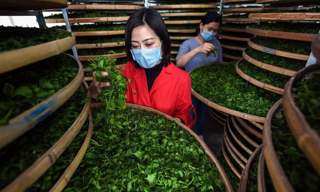 Agricultores verificam folhas de ginkgo usadas para fazer chá de ginkgo biloba, em um campo de chá em Linyi, na província chinesa de Shandong. A economia da China, segundo dados oficiais divulgados nesta quarta-feira (17), superou as previsões, já que o crescimento permaneceu estável no primeiro trimestre, apesar da fraca demanda global e da guerra comercial dos EUA Foto: STR / AFP