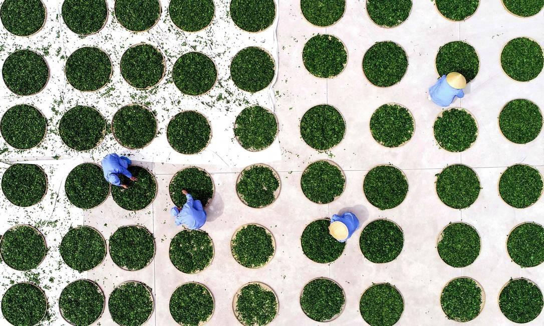 Agricultores secam folhas de ginkgo, usadas para fazer chá de ginkgo biloba, em um campo de chá em Linyi, na província chinesa de Shandong Foto: STR / AFP