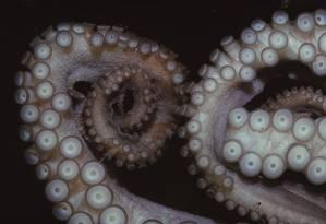 Os tentáculos dos polvos são altamente desenvolvidos sensorialmente Foto: Heritage Images / Getty Images