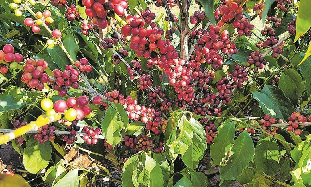 Maturação de uma das plantas de café do experimento realizado no Instituto Agronômico de Campinas, que busca selecionar um café descafeinado Foto: Divulgação