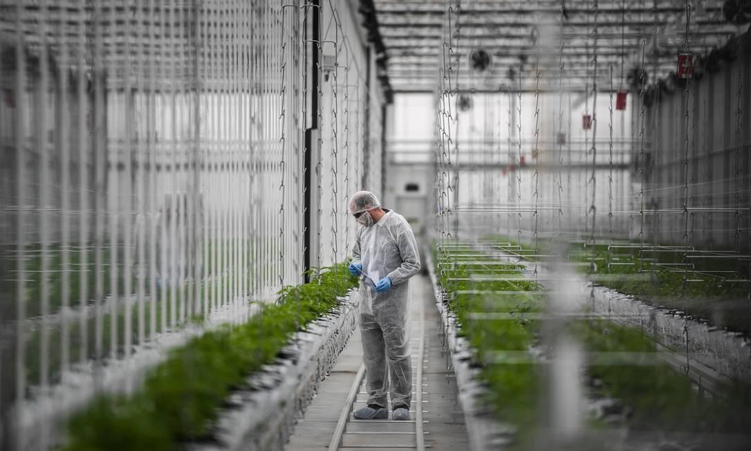 Funcionário de fábrica de cannabis medicinal verifica plantas de cannabis em uma estufa do sítio de produção europeu da Tilray, em Cantanhede, Portugal Foto: PATRICIA DE MELO MOREIRA / AFP