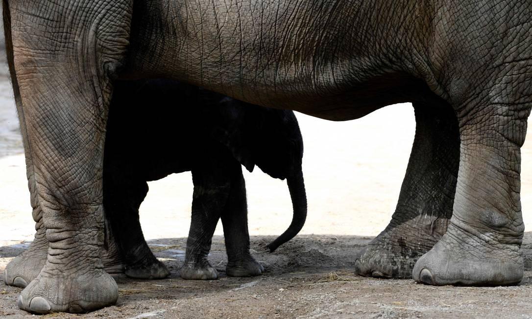 O filhote de elefante recém-nascido Gus busca abrigo sob sua mãe, Sabie, no zoológico de Wuppertal, oeste da Alemanha Foto: INA FASSBENDER / AFP