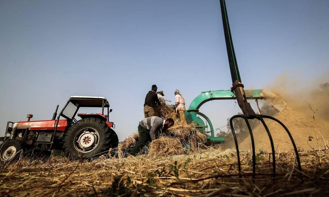 Agricultores palestinos colhem trigo em um campo durante a temporada anual de colheita em Khan Yunis, sul da Faixa de Gaza Foto: SAID KHATIB / AFP