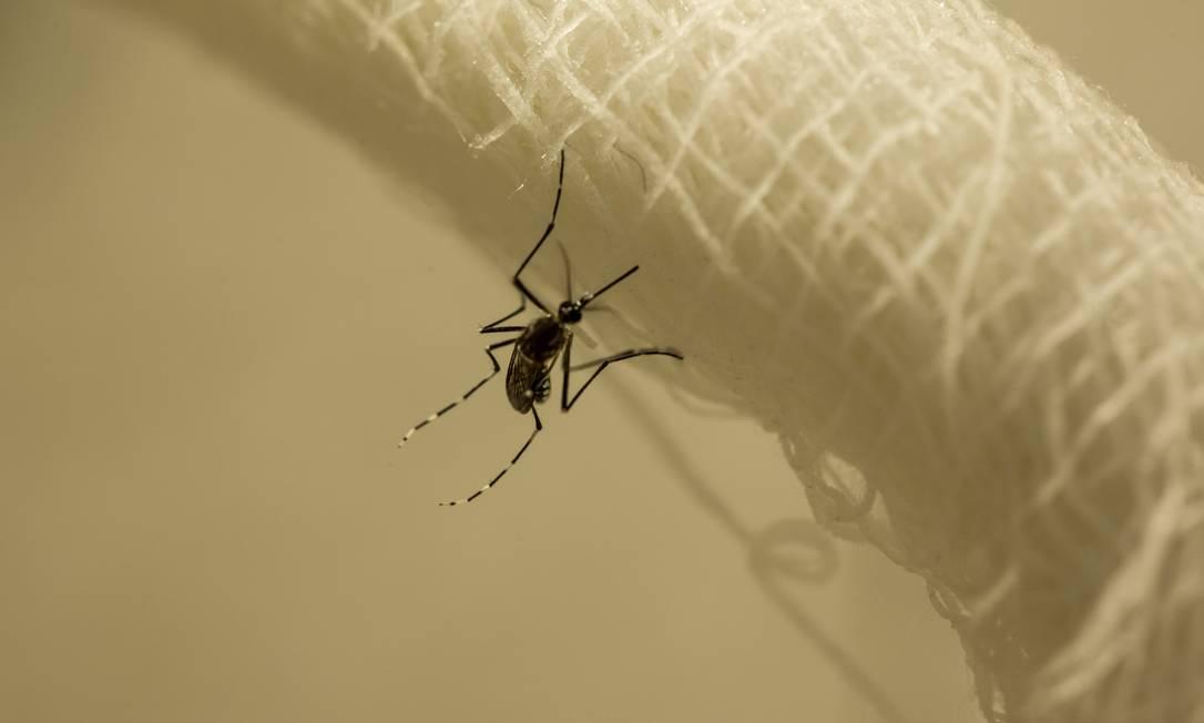 O mosquito Aedes aegypt, vetor de doenças como dengue, zika e chicungunha. Foto: Brenno Carvalho / Agência O Globo