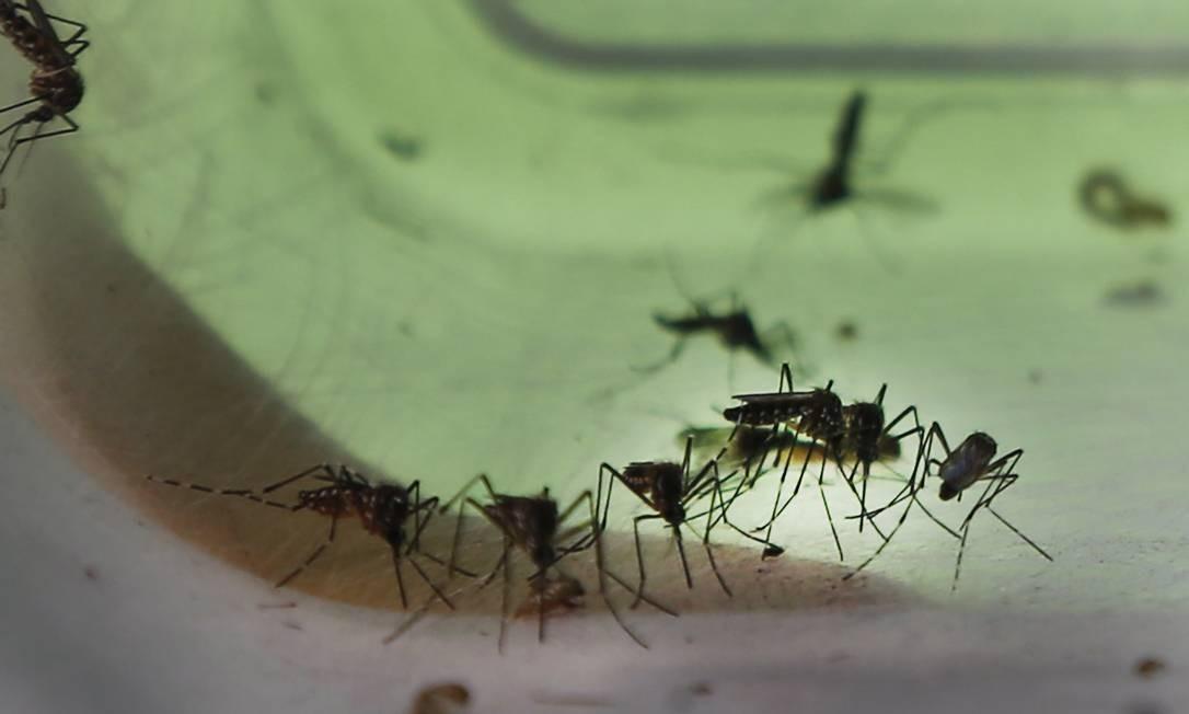 Em 2017, Fiocruz soltou mosquitos Aedes aegypti infectados com a bacteria wolbackia, que torna os mosquitos imunes à dengue, zika e chicungunha Foto: Antonio Scorza / Agência O Globo