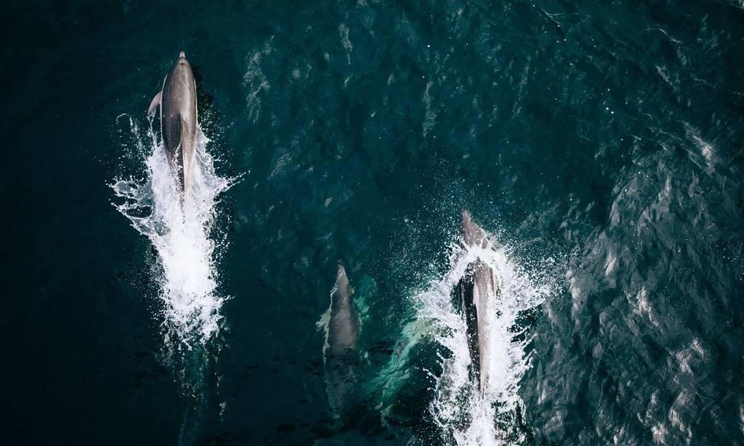Os golfinhos comuns do Golfo da Biscaia tornam-se sexualmente maduros aos 8 anos e podem viver até aos 25 anos. As fêmeas dão à luz a cada três anos, em média Foto: Andrea Mantovani/New York Times