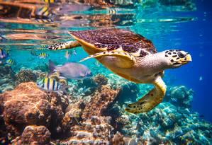 Tartaruga-de-pente, espécie ameaçada de extinção, flutua debaixo d'água em recife de corais no Oceano Índico Foto: Divulgação/Andrey Armyagov/Shutterstock.com