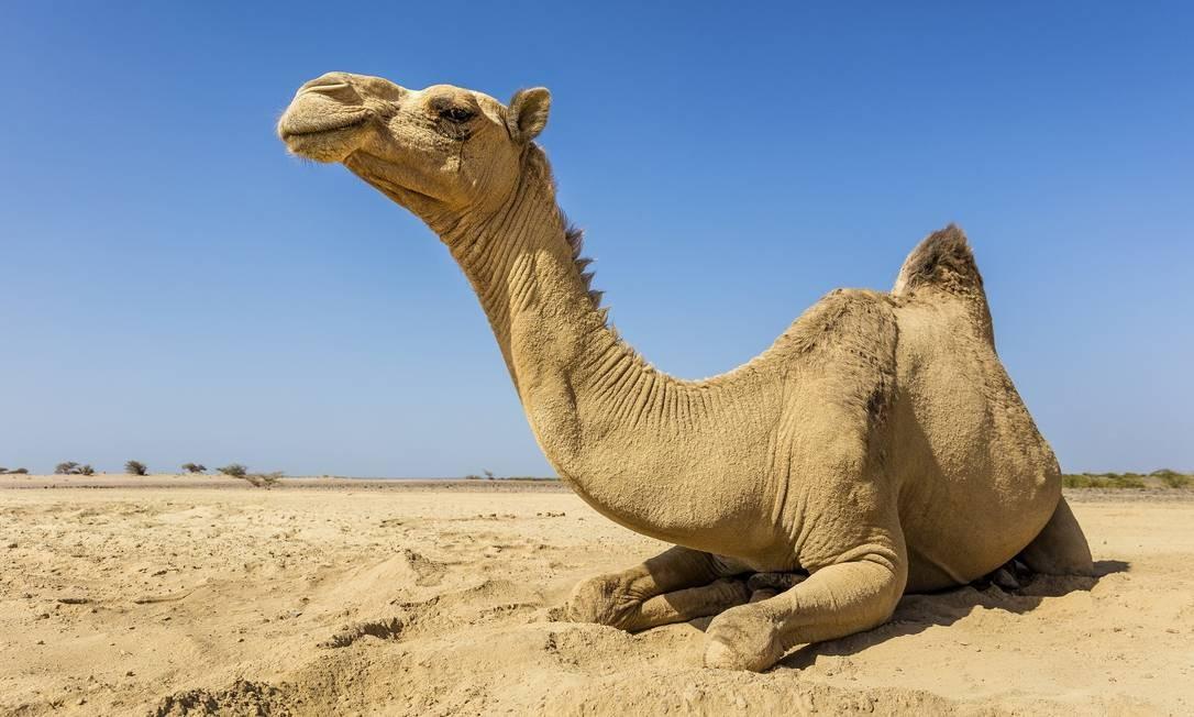 Camelo no deserto etíope. Os animais são usados para transporte de produtos e pessoas no país Foto: MARCUS WESTBERG / NYT