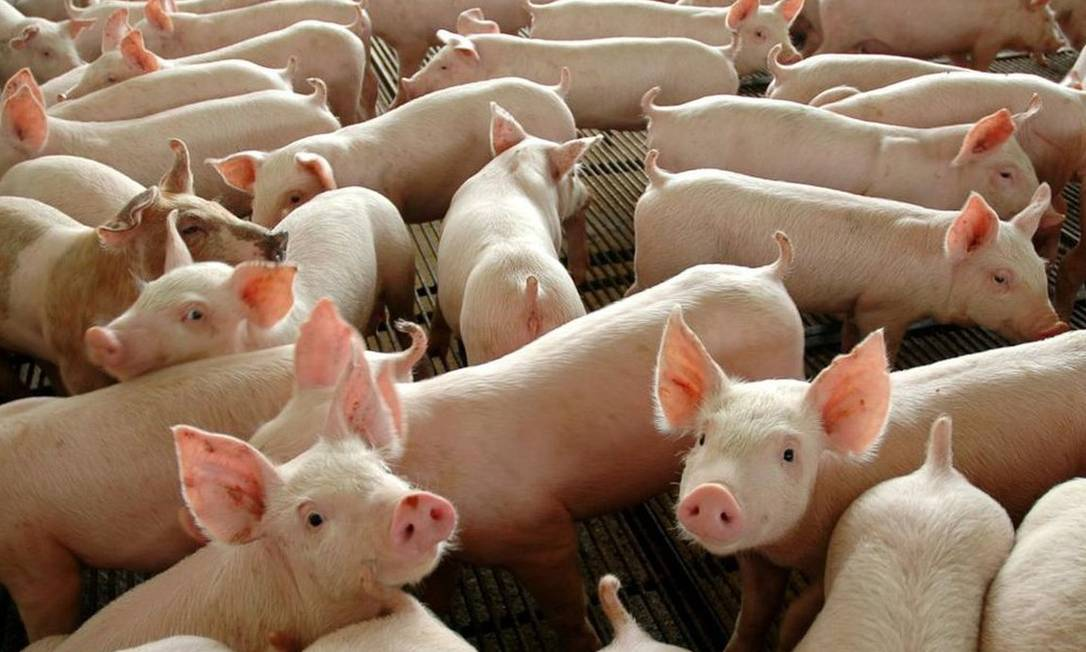 A cada dia, Hong Kong recebe quatro mil porcos vivos da China Foto: / Agência Brasil