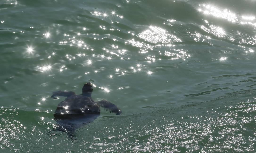 Uma tartaruga dá o ar de sua graça no final da Praia do Leme Foto: Gabriel de Paiva / Agência O Globo