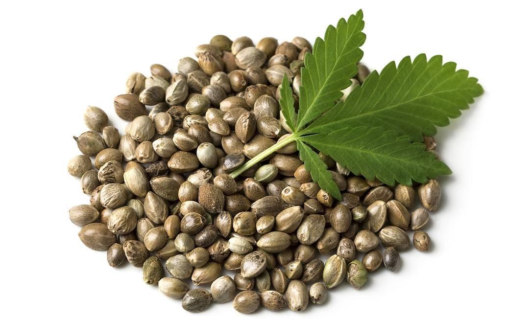 Sementes de maconha não possuem o THC, princípio ativo da droga Foto: egal / Getty Images/iStockphoto