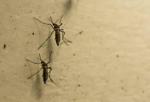 Testes de laboratório mostraram que vírus mayaro pode ser transmitido tanto pelo mosquito Aedes quanto pelo pernilongo comum (Culex), o que potencializa o risco de epidemia Foto: Brenno Carvalho / Agência O Globo
