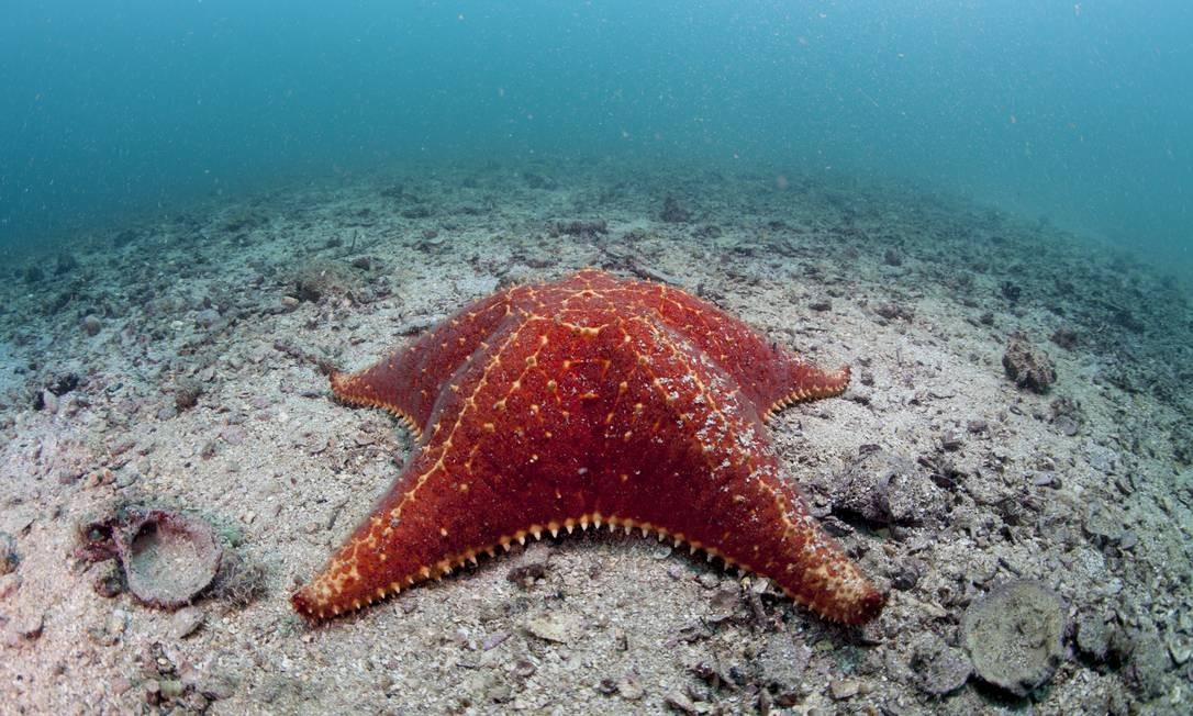 Estrela do Mar Travesseiro, flagrado na Estação Foto: Áthila Bertoncini / DIvulgação: Athila Bertoncini LICTA-UNIRIO