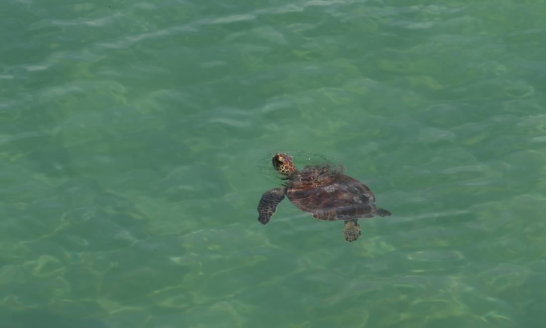Tartaruga é vista na Praia do Leme Foto: Pedro Teixeira / Agência O Globo