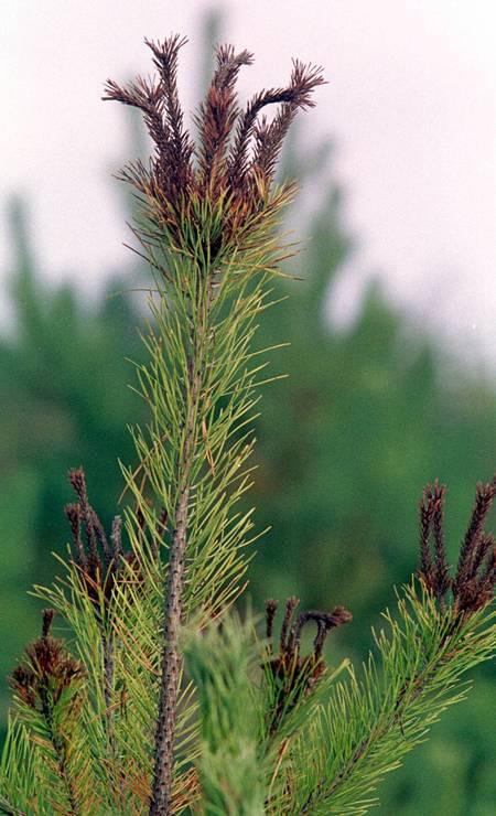 Vegetação cresce a uma milha de distância da usina de Chernobyl, em novembro de 2000. Os galhos marrons e doentes são resultado das mudanças morfológicas causadas pela radiação Foto: Efrem Lukatsky / AP Photo