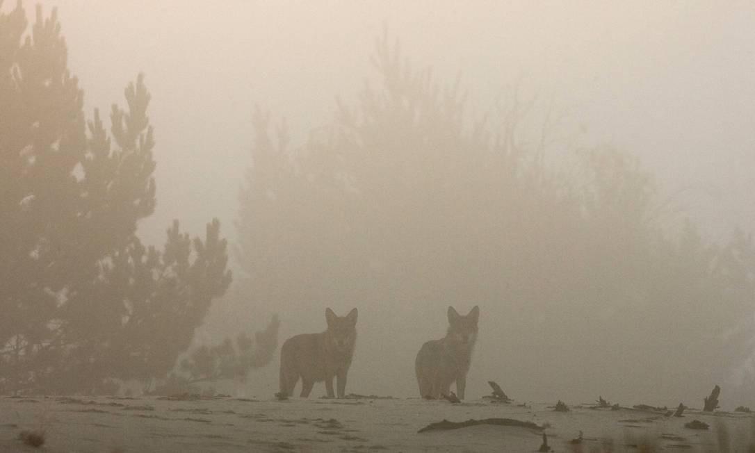 Lobos são vistos na zona de exclusão de Chernobyl próximos do vilarejo abandonado de Borshchevka, em setembro de 2009 Foto: VASILY FEDOSENKO / REUTERS