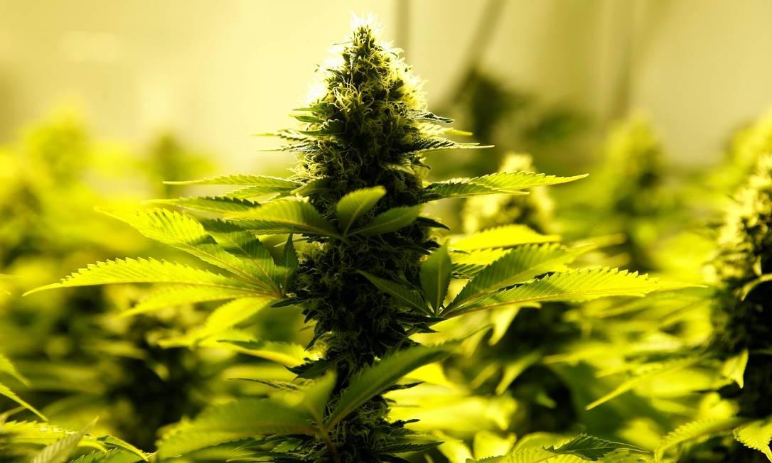 Desde 2015, Anvisa registrou mais de 10 mil solicitações de importação de medicamentos à base de Cannabis Foto: Andres Stapff / Reuters