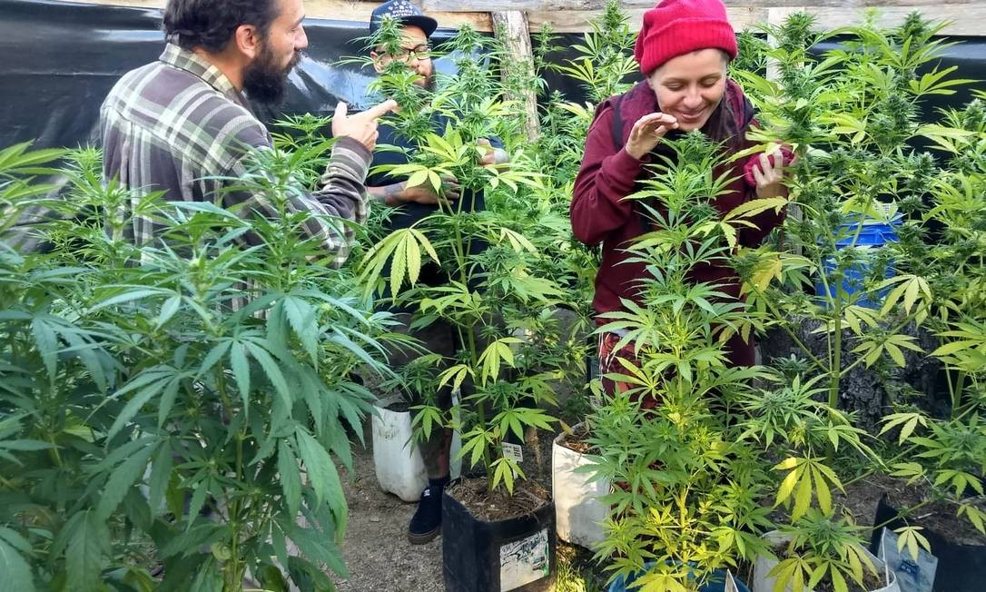 O engenheiro Ricardo Tolomelli mora no Uruguai desde 2013, quando o plantio e comercialização foi liberado no país vizinho, e passou a se dedicar ao estudo do plantio da cannabis. Criou um site dedicado a ensinar quem quer cultivar a planta. Foto: Divulgação / Agência O Globo