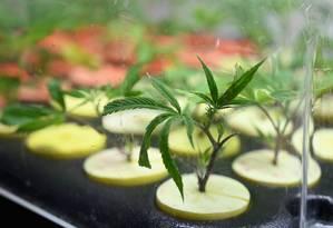 Anvisa é favorável ao cultivo da cannabis para fins medicinais, desde que por laboratórios, em locais fechados e passíveis de fiscalização Foto: ANGELA WEISS / AFP
