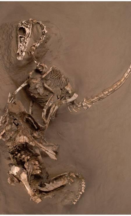 o dromeossaurídeo Velociraptor capturado em combate com o dinossauro primitivo de chifres Protoceratops, no deserto de Gobi, na Mongólia Foto: Divulgação/Mark Ellison