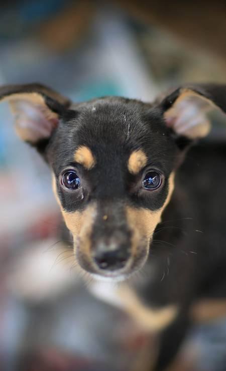 Quem resiste? Cientistas filmaram interações de dois minutos entre cachorros e uma pessoa: cães podem mover o contorno dos olhos com intensidade ao olhar para os humanos Foto: Roberto Moreyra / Agência O Globo