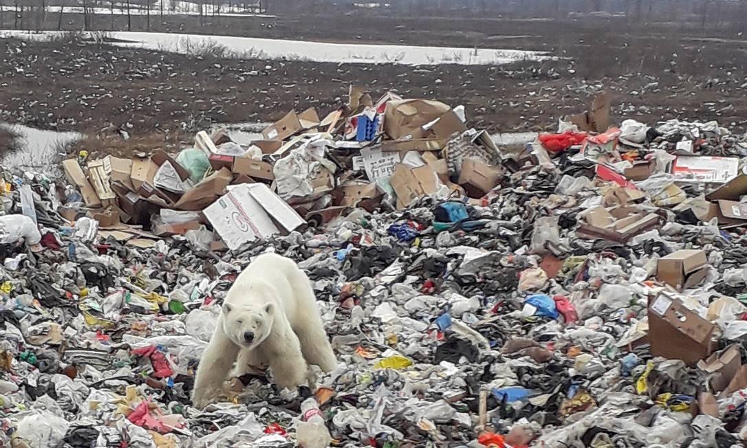 Urso polar faminto é flagrado em cima de montanha de lixo na Sibéria