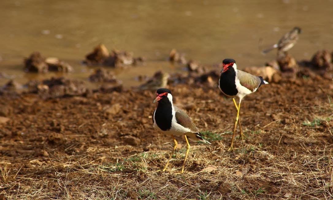 Diversidade de pássaros no Parque Nacional Ranthambore Foto: Felipe Mortara