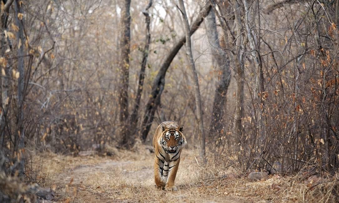Tigre-de-bengala, a grande atração do safári Foto: Divulgação