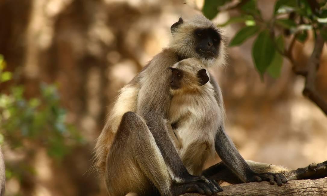 Macacos lagur-cinzento-das-planícies-do-sul no Parque Nacional Ranthambore Foto: Felipe Mortara