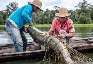 Pirarucu sendo pescado na Amazônia, dentro do trabalho de manejo Foto: Divulgação/Bernardo Oliveira