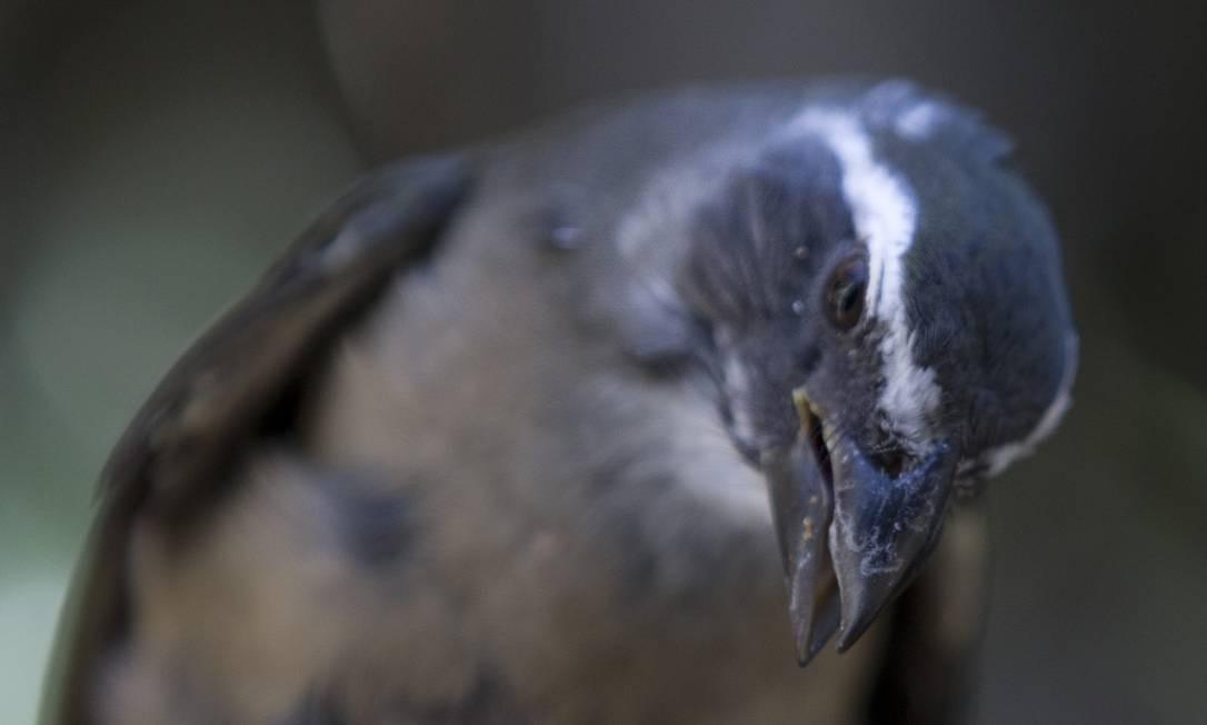 O pássaro da espécie trinca-ferro também deve ser levado de volta à Floresta da Tijuca Foto: Márcia Foletto / Agência O Globo