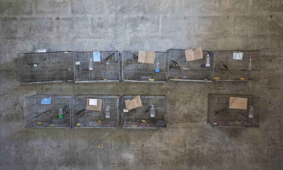 Pássaros trinca-ferros que foram apreendidos e que irão voltar ao Parque Nacional da Tijuca Foto: Márcia Foletto / Agência O Globo