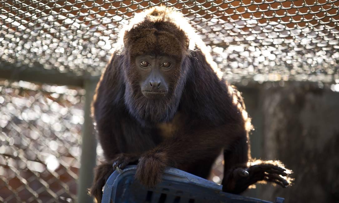 Bugio em viveiro no Centro de Triagem de Animais Silvestres, órgão do Ibama, em Seropédica Foto: Márcia Foletto / Agência O Globo