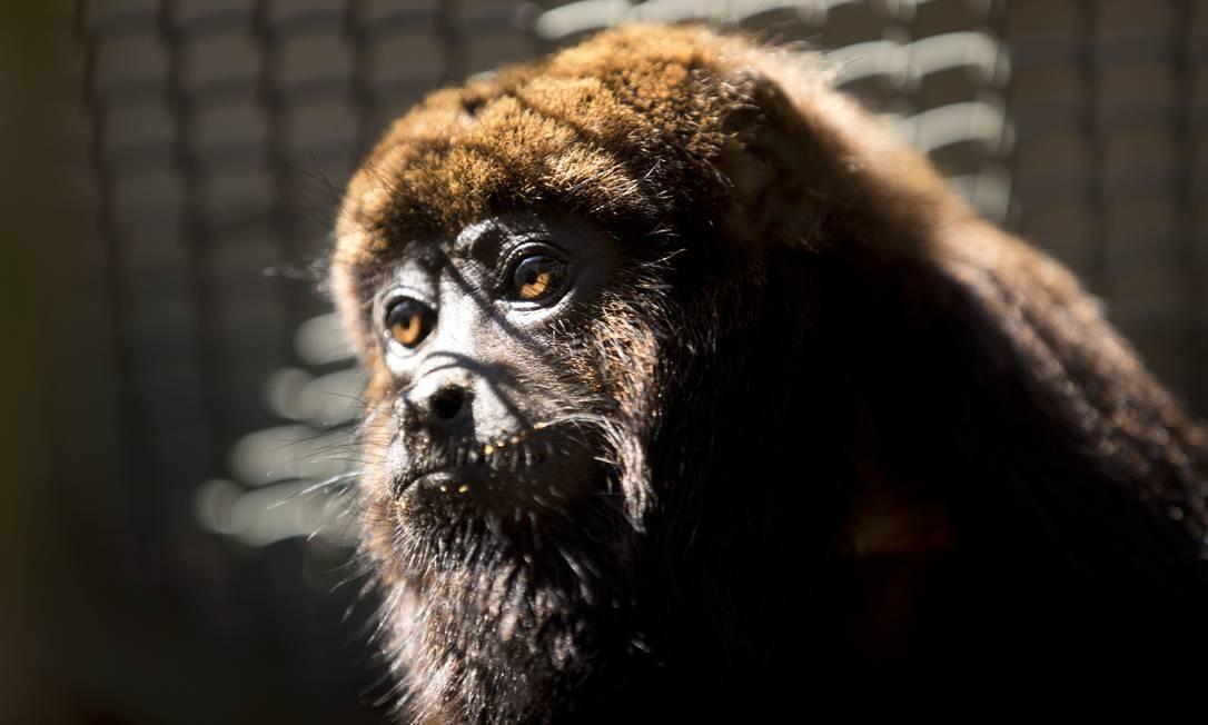 O bugio, também conhecido popularmente por macaco-uivador ou barbado, foi o segundo animal levados de volta ao Parque Nacional da Tijuca pelo projeto Refauna Foto: Márcia Foletto / Agência O Globo