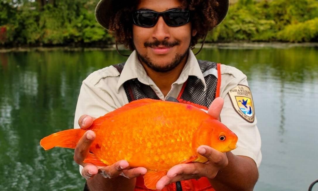 Peixe dourado capturado no rio Niágara, nos EUA, onde virou predador de espécies locais Foto: Reprodução