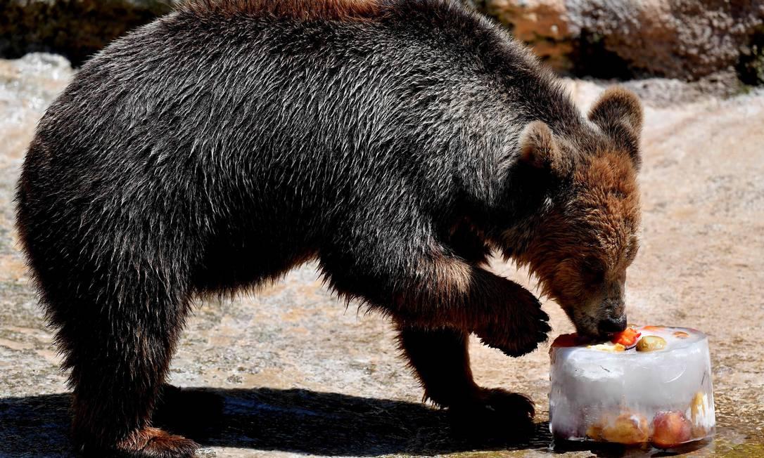 Um urso se refresca no zoológico de Roma, onde as temperaturas chegam a 36ºC Foto: TIZIANA FABI / AFP