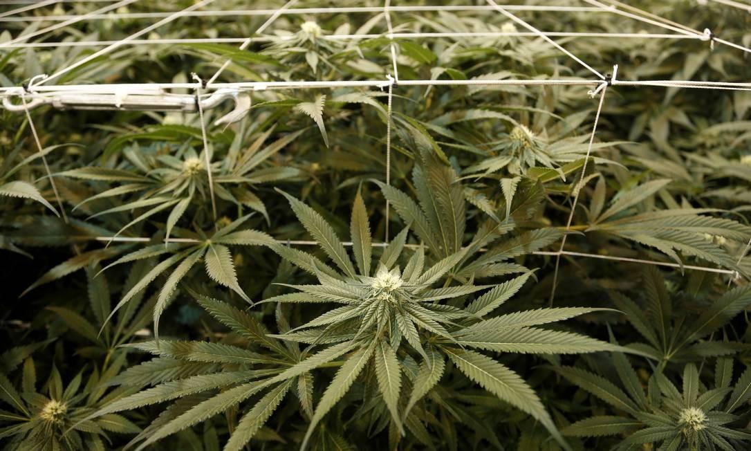Medicamentos produzidos à base da planta devem ter percentual abaixo de 0,2% de THC e só poderão ser comprados com receita médica Foto: Seth Wenig / AP