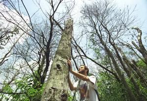 Pesquisador observa tronco de árvore seca na Floresta da Tijuca, em área vitimada por queimadas Foto: Márcia Foletto / Agência O Globo