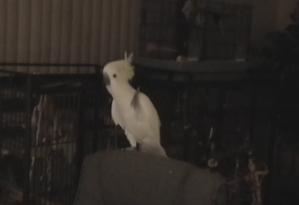 Trabalho mostra como pássaro pode dançar a música 'dos seres humanos' espontaneamente Foto: Reprodução/ YouTube