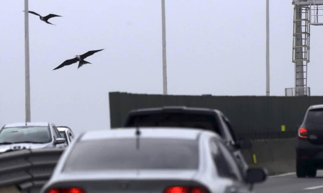 A presença de aves marinhas na Ponte Rio-Niterói cresceu tanto este ano que a concessionária Ecoponte vai passar a veicular mensagens de alerta aos motoristas Foto: Custodio Coimbra / Agência O Globo