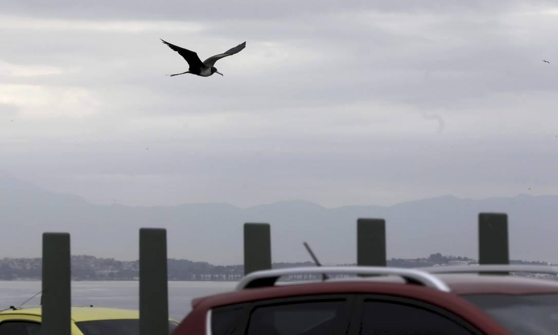As aves marinhas passaram a ser observadas diariamente Foto: Custodio Coimbra / Agência O Globo