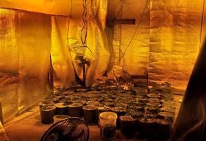 A plantação de macpnha encontrada pelos PMs Foto: Polícia Militar / Divulgação