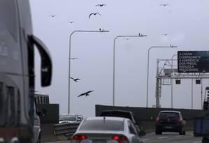 Concessionária que administra a Ponte vai alertar motoristas para risco de acidente envolvendo aves Foto: Custódio Coimbra / Agência O Globo