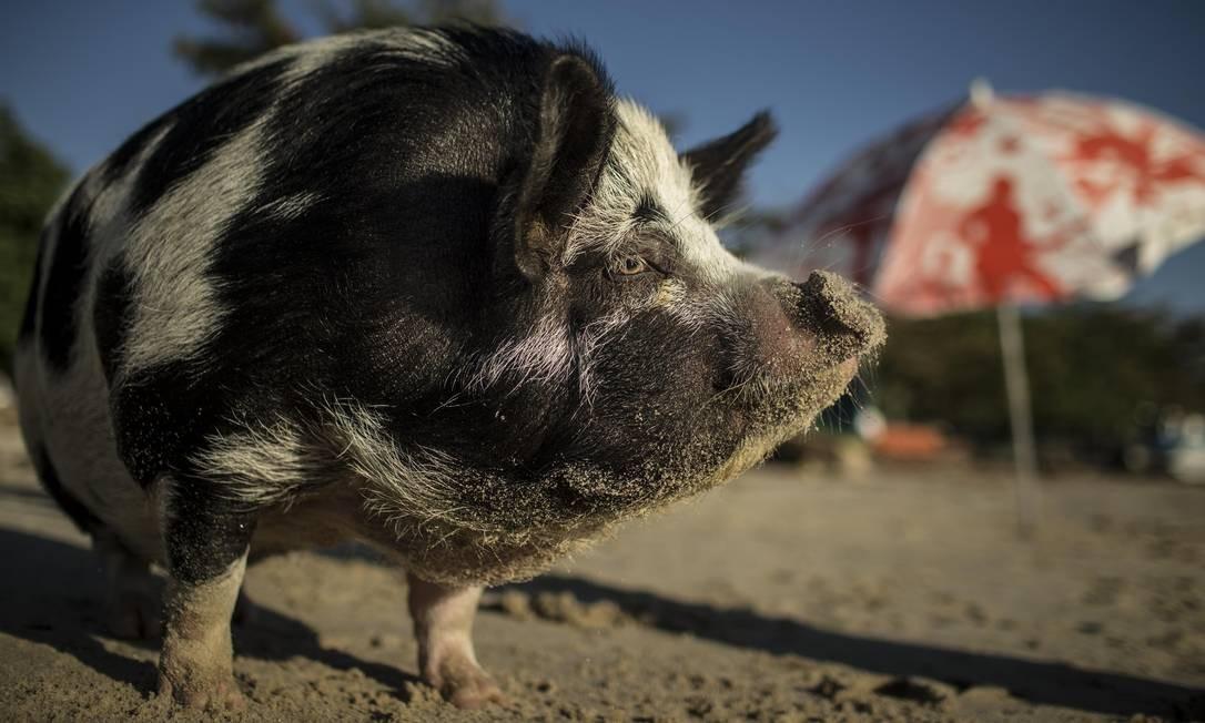 """Biga exibe sua rotina nas redes sociais. A porquinha faz crossfit - ou """"crosspig"""" -, é vegana e dá dicas de malhação Foto: Guito Moreto / Agência O Globo"""